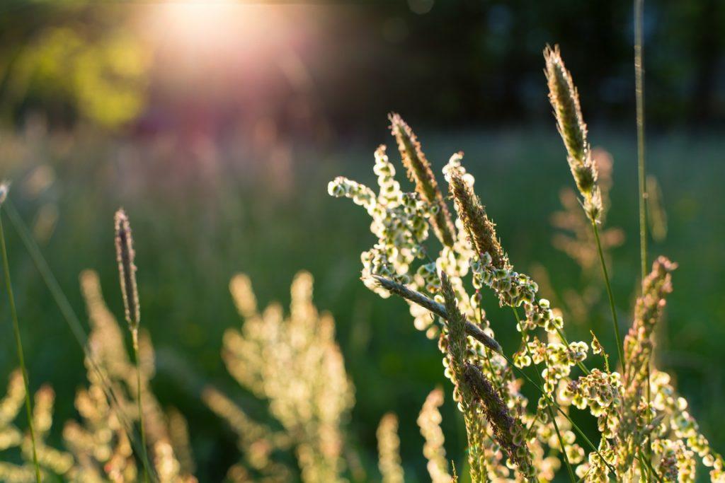 Gräser mit Sonnenstrahlen