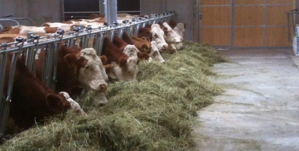 Glückliche Kühe in einem modernen Stall mit frischem Heu und Gras.